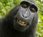 ¿Y quién ganó el pleito entre Wikipedia y un fotógrafo por una foto que tomó un mono?