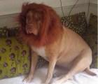 Transformó a su perro en León