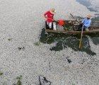 Suben de 4 a 50 las toneladas de peces muertos en Jalisco... sólo en cuatro días