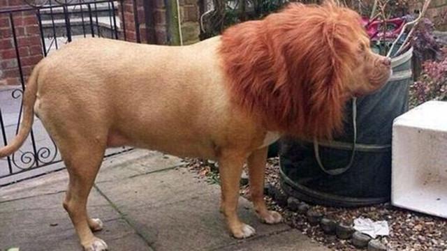 Postea una foto de su perro como un león