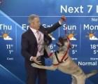 Video: Ripple el perro se roba el show durante el pronóstico del tiempo