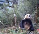 """Momento histórico: Captan a Oso Panda """"haciéndose el amor solito"""""""