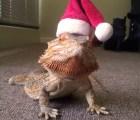 Mira al bebé dragón barbudo más adorable del mundo!!!