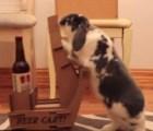 Este sujeto entrenó a su conejo para que le lleve cervezas