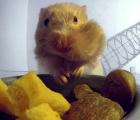 Hamsters cachetones vistos con rayos X