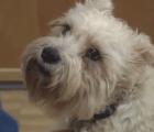 Perro escapa de su casa para visitar a su ama en el hospital