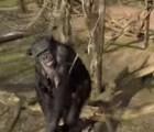 Video: Chimpancé enojado derriba un drone con un palo