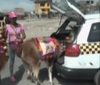El indignante traslado de dos llamas en la cajuela de un auto