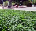 EpicFail?? sin darse cuenta plantan marihuana en jardineras públicas