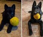 Diabetes por ternura: fotos de animales con su juguete favorito antes y después