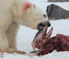 ¿Qué nos dice la foto de un oso polar comiéndose un delfín?