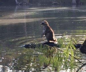 raccoon-riding-alligator-richard-jones-1