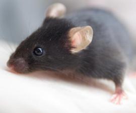 raton castrado