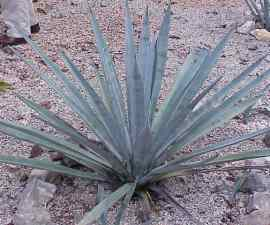 Agave_tequilana