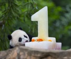 pandacumple2