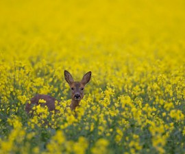 Roe deer Capreolus capreolus female in a flowering oilseed rape