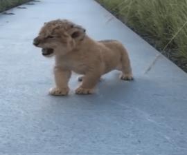 leóncachorro