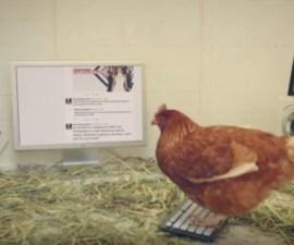 chicken-twitter-tweets-chicken-treat