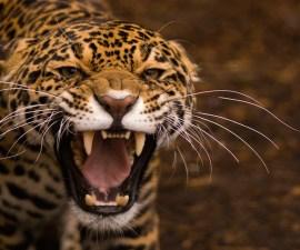 jaguar-07