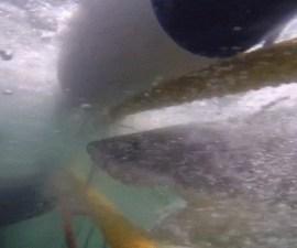 ataque tiburon1