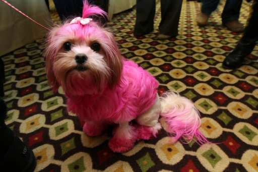 Amore, a Shih-Poo, attends the 2012 Pre-Westminster Fashion Show with her owner Nicki Rappa, from Smithtown, New York, unseen, Friday Feb. 10, 2012 in New York. (AP Photo/Tina Fineberg)