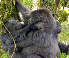 gorilas-homosexualidad