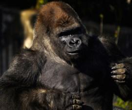 murio-gorila-bantu-zoologico-chapultepec