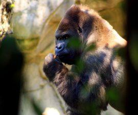 gorila-bantu