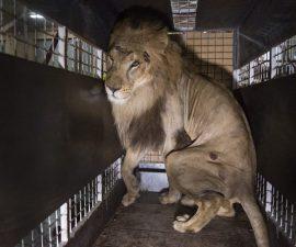 animales-circos-ley-leon