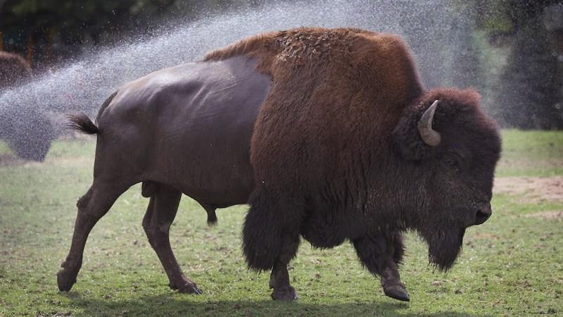 bisonte-zoologico-chapultepec-animal