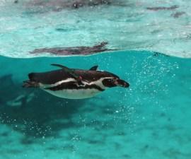 pinguino-nadando