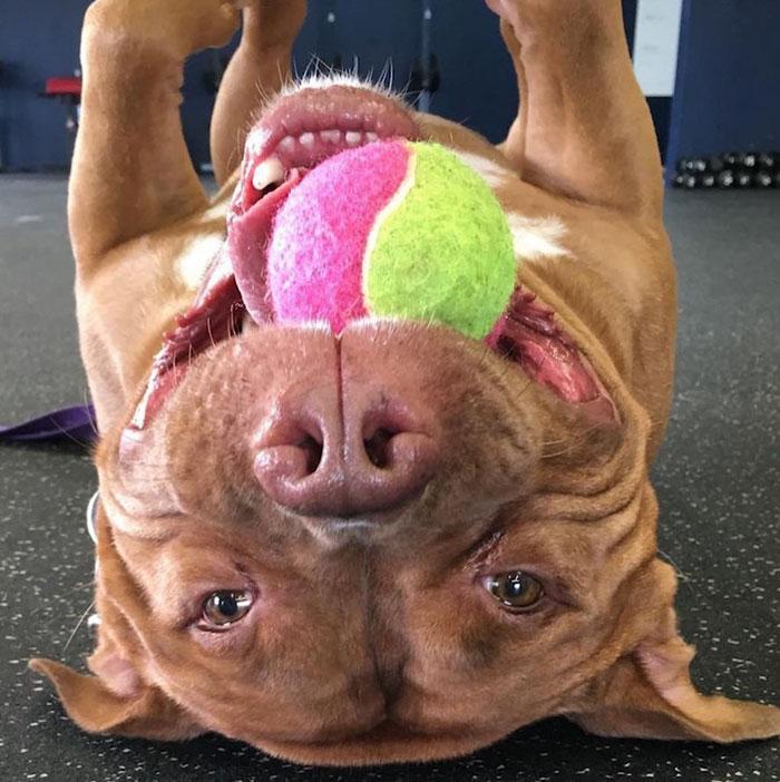 meaty-pitbull-pelota