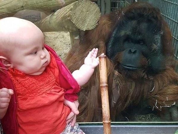 Orangután besa el vientre de una mujer — YouTube