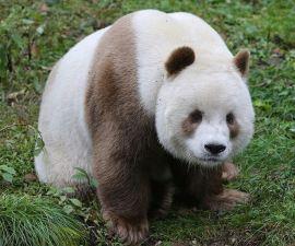 oso-panda-marron