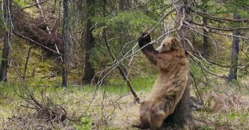 Oso grizzly bailando