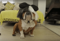 banjoe-the-bulldog