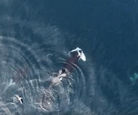 Orcas contra tiburon