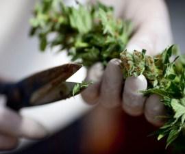 Plantío de marihuana
