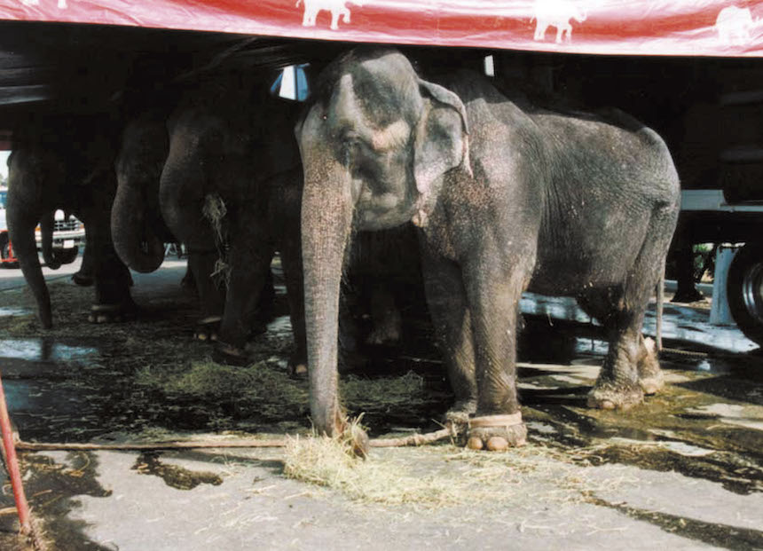 Ringling Bros. Clausura Elefantes