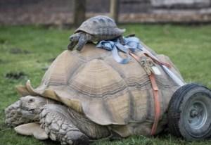 Conozcan a Bert: la tortuga motorizada
