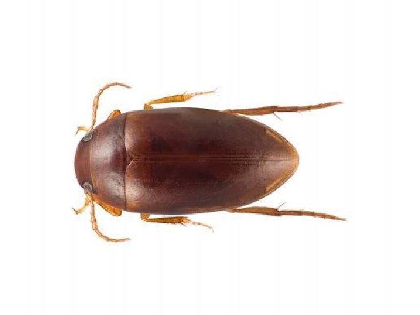 Escarabajo nombrado en honor a Stephen Colbert