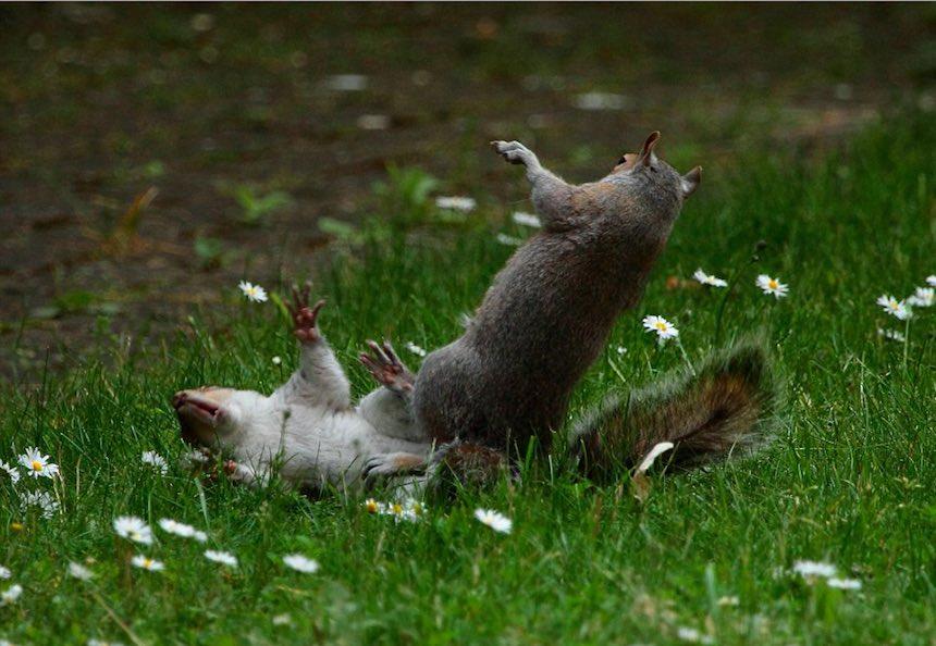 Pelea de ardillas - Caída