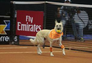 Este torneo de tenis emplea a perros rescatados como recoge pelotas
