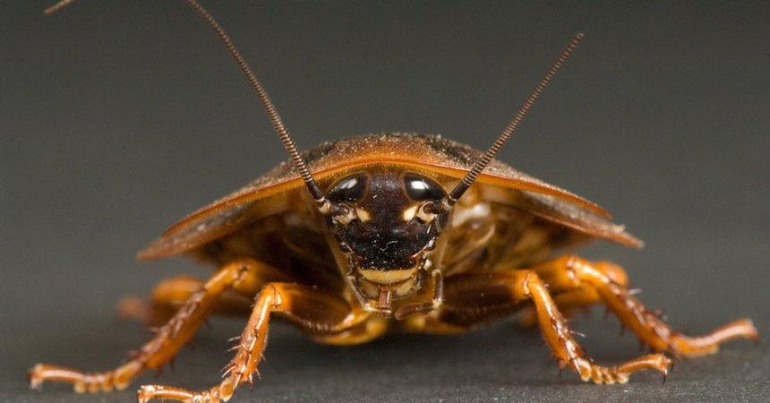 Enorme cucaracha