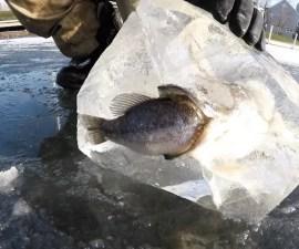 Pez Congelado