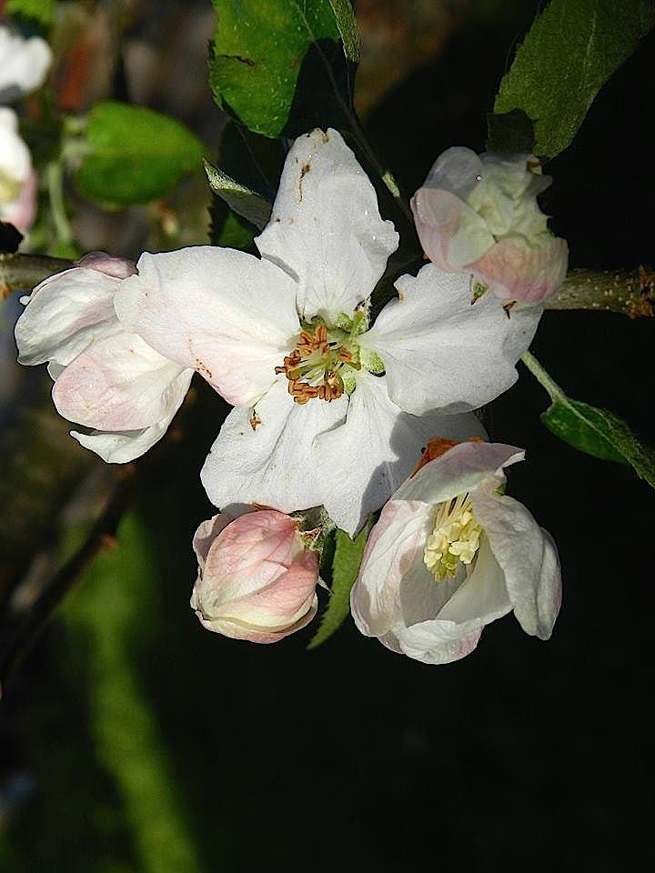 appleblossom2