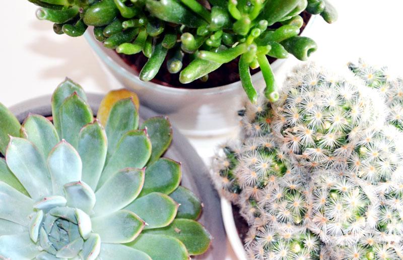 Pflanzen Kakteen und Succulenten für zu Hause