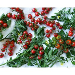 Relaxing Click To Enlarge Wild Cherry Sourn Exposure Seed Exchange 100 Tomato Height 100 Tomato Container houzz-02 Sweet 100 Tomato