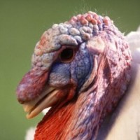 America's lust for gigantic breasts leads to impotence: the population genetics of captive-reared turkeys