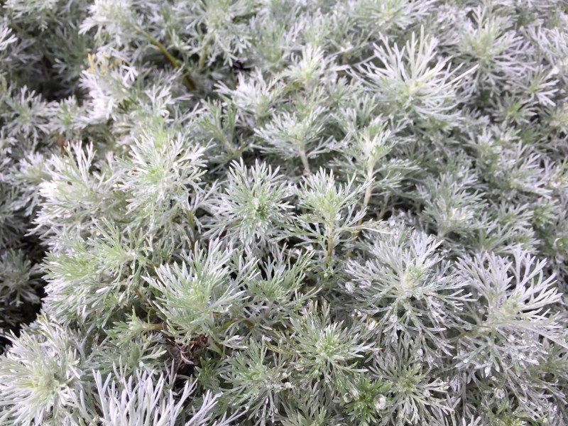 Large Of Silver Mound Artemisia
